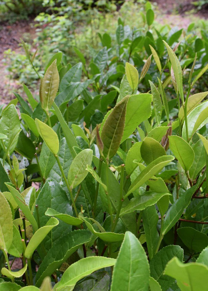 Camellia Sinensis Plant Leaves Seedlings Leaves