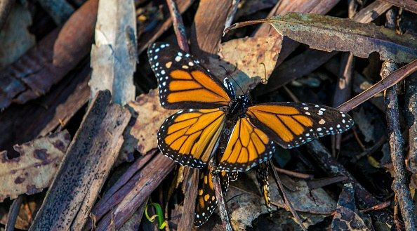 """Monterey County is an animal-friendly area: In many cities in the region, those found """"molesting"""" butterflies (i.e., touching them) or setting a mousetrap without a hunting license will be fined $500."""