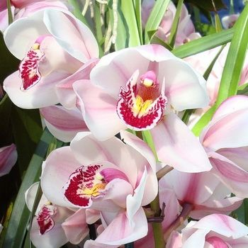 Виды орхидеи цимбидиум: фото разновидностей и уход за цветами в домашних условиях