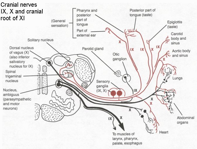 Cranial nerves IX,X,XI anatomy