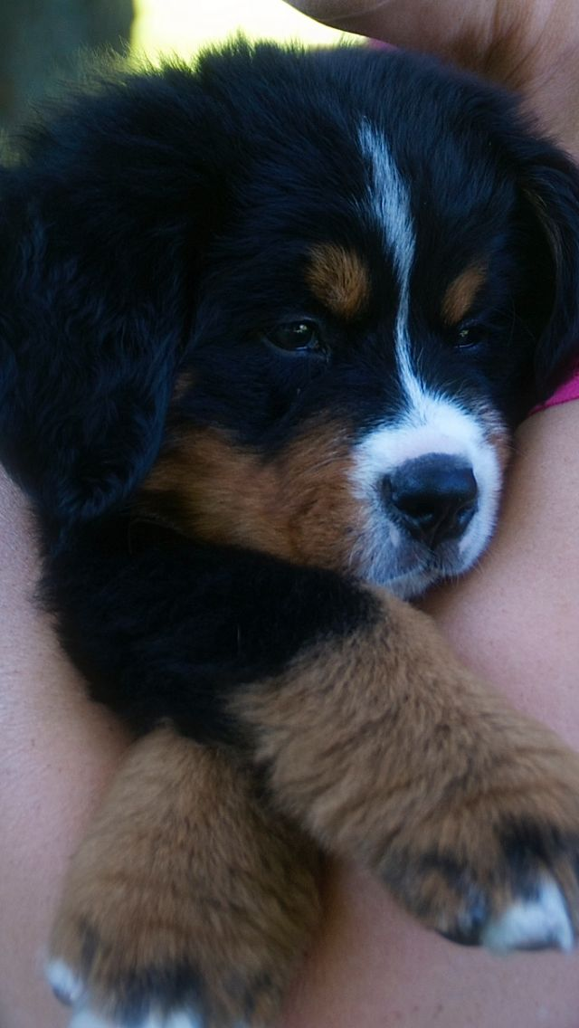 Bernese mountain dog                                                                                                                                                                                 More