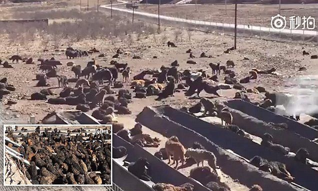 Hundreds of Tibetan Mastiffs are abandoned in rural Chinese province -     Nearly 1,000 Tibetan Mastiffs, once known as the world's most expensive dog breed, have been abandoned in  China  after breeding centres ran out o... See more at https://www.icetrend.com/hundreds-of-tibetan-mastiffs-are-abandoned-in-rural-chinese-province/