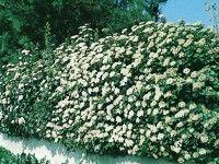 Viburnum tinus is groenblijvende plant waarmee je een haag kunt vormen van maximaal 3-4 meter hoog. Mooie donkergroene, glanzende bladeren  en bloemen in de winter! Een topheg.