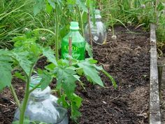 "Bottle Drip Irrigation - you can water plants using less water. Fill the ""bottle drippers"" with the garden hose. This method saves time and puts the water right at the root. Follow the link to see more ....."