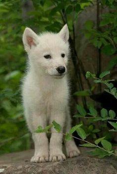 Beautiful wolf pup ❤️