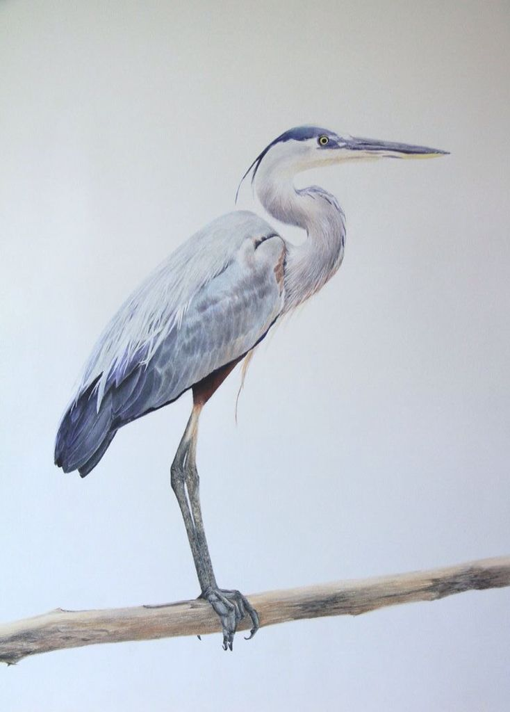 Great Blue Heron colored pencil on Fabriano paper