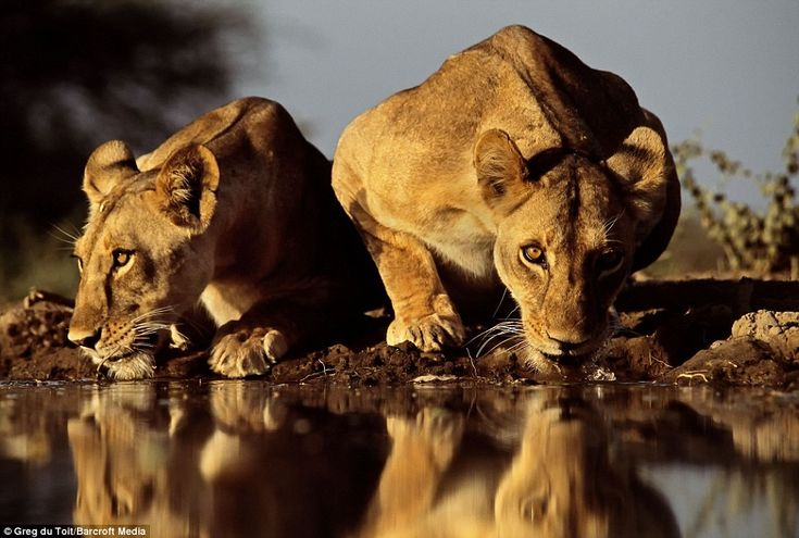 Great close-up shot of lions at an African watering hole