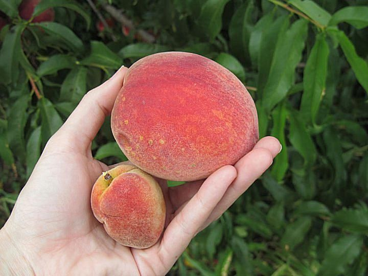 Expert advice from Stark Bro's Nurseries and Orchards on growing fruit trees in containers