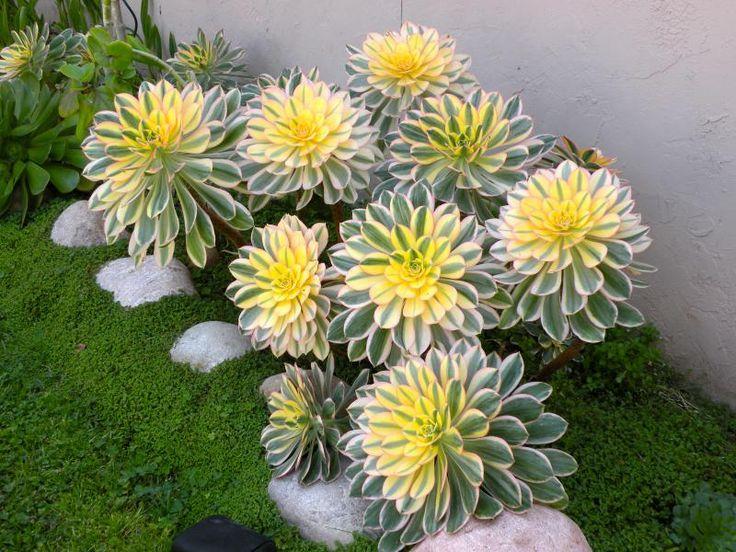 These Aeonium 'Sunburst' look so healthy!