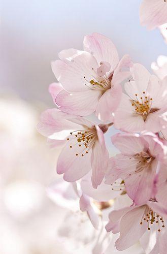Sakura; Cherry Blossom - My favourite flower.