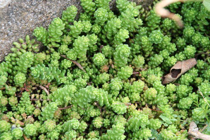 Les Sedums Et Orpins Sauvages Au Jardin Avec Images Plantes