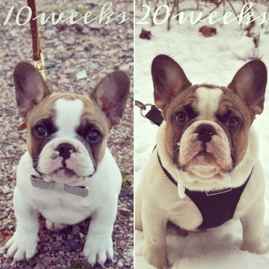 French Bulldog as s Puppy and adult❤️