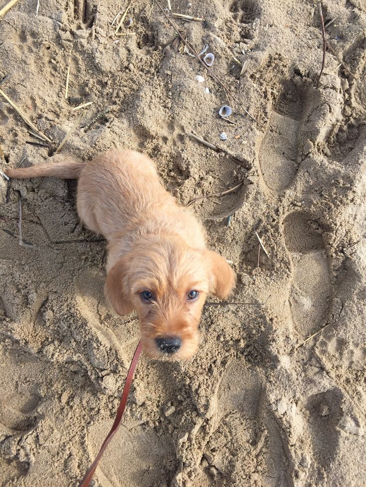 Basset Fauve de Bretagne pup Bruno (Waaijpolder)