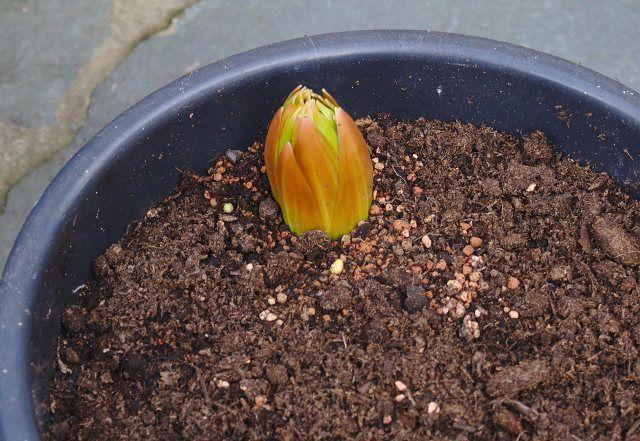Цветы Царская корона посадка и уход