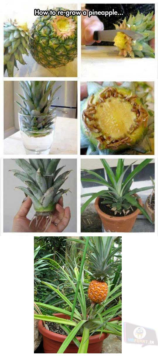 How to re-grow your pineapple. It works