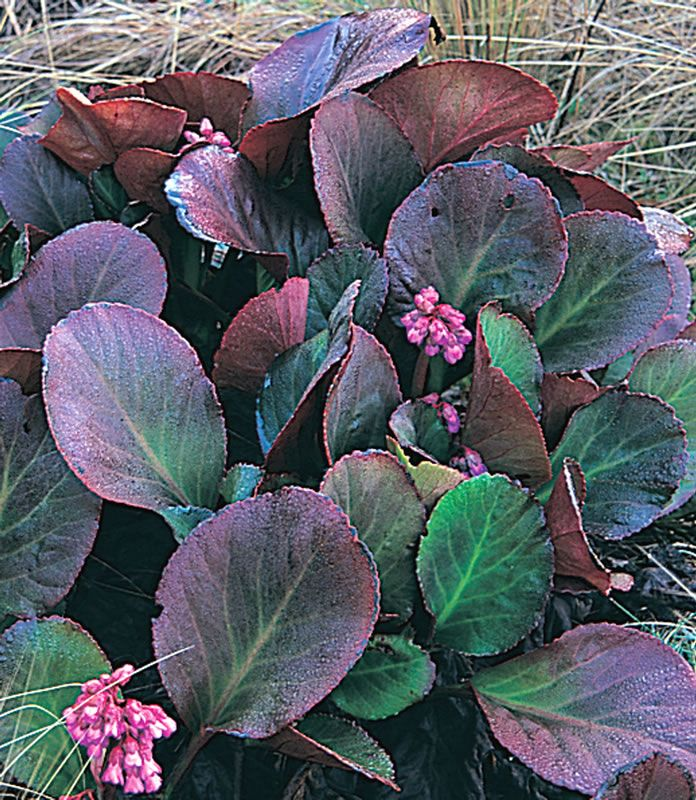 Bergenia 'Bressingham Ruby' for some winter colour