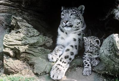 Leopardo delle nevi a rischio estinzione, perso il 20% della popolazione