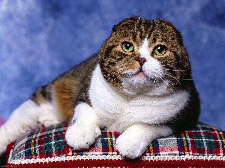 Scottish Fold | Scottish Fold – Cat Breed | Fun Animals Wiki, Videos, Pictures ...