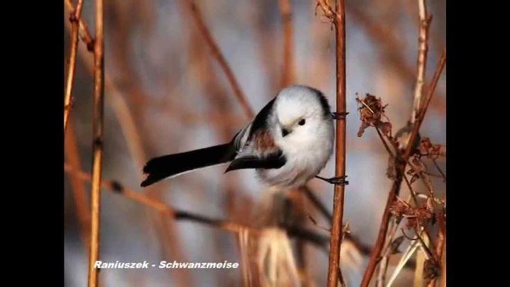 Ptaki Polski - Wiosenne Odgłosy Ptaków ; ``Czeczotka``,``Jemiołuszka`` i...