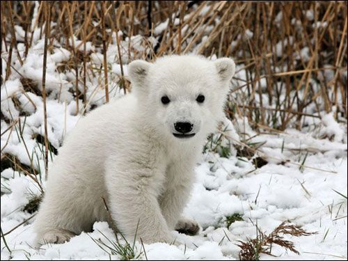 17 Best Images About Cute Baby Polar Bear On Pinterest