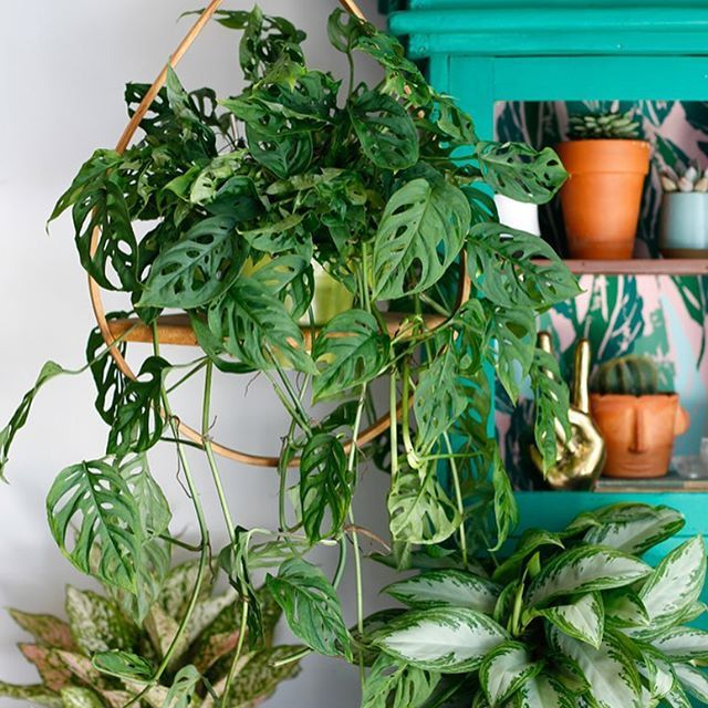 the plant o pedia is back today were talking all about swiss cheese houseplantsvinesindoorplants