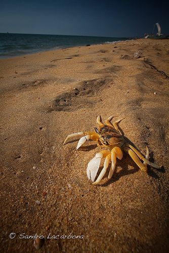 Crab on the Beach, Negombo, Sri Lanka #SriLanka #Negombo #Beach #Crabs