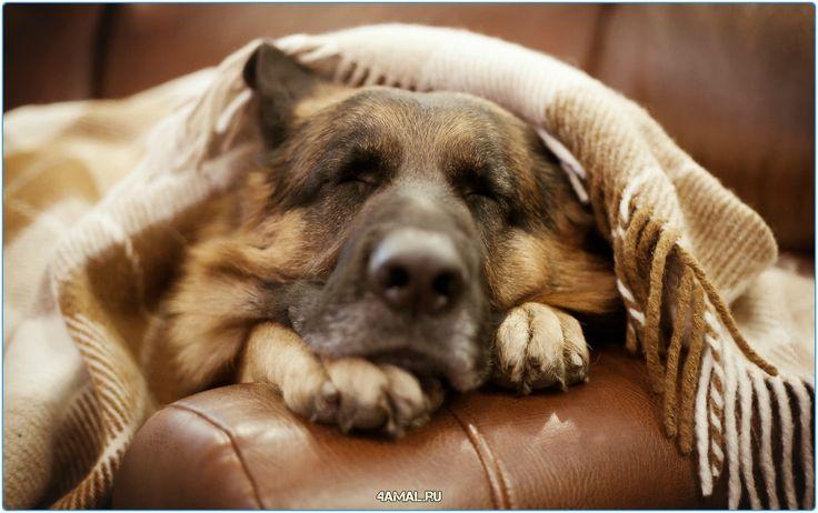 Доброй ночи всем любителям животных, а также просто хорошим людям  #ночь #добро #животные #россия #кошки #собаки #домашние #овчарка #сон #котики #юмор #humor #russia #cats #cat #dogs #dog #animals #animal #night #good #goodnight