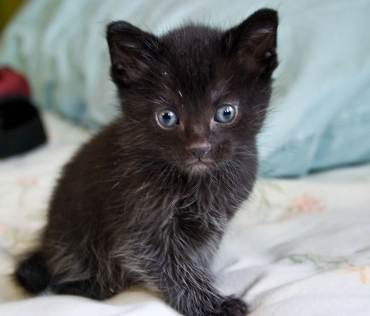 5 Native Breeds of Cats to America | CBWP