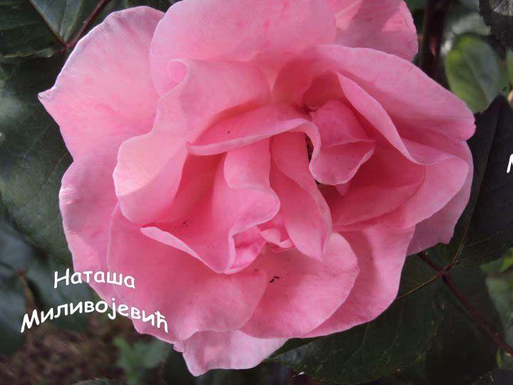Roze ruza
