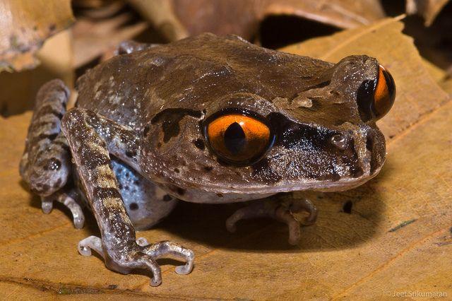 Spotted Litter Frog - Leptobrachium hendricksoni