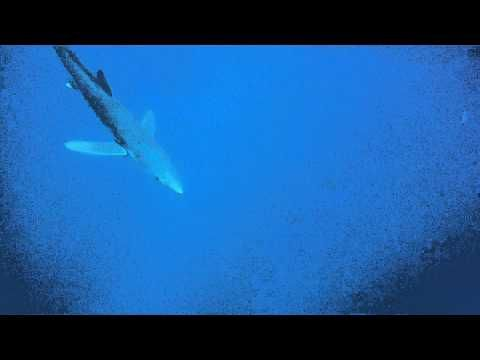 Swimming with sharks in the Azores  The Azores islands are pushing adrenaline activities to attract new visitors. Fancy jumping into the sea with five huge sharks?  Via The Guardian | 22/08/2012  #Portugal