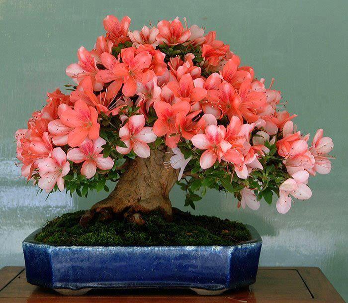 Bonsai satsuki flowering azalea                                                                                                                                                                                 Mais