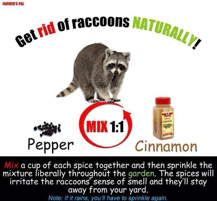 fffbd3373ba2090445f25ebe4cf1c908 - How To Get Rid Of Raccoons Pooping On Your Deck