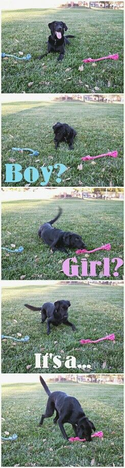 Dog- baby gender reveal! SOOOOOOO DOING THIS WITH BO AND MARVIN!!!