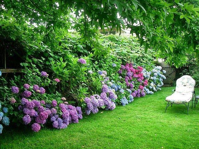 Idea For Back Yard Against Fence   Hydrangeas