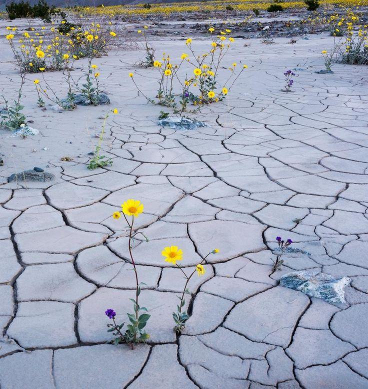 デスバレーの野生の草花の種は、1年の大半は休眠状態にある。開花期間が短いため、今...