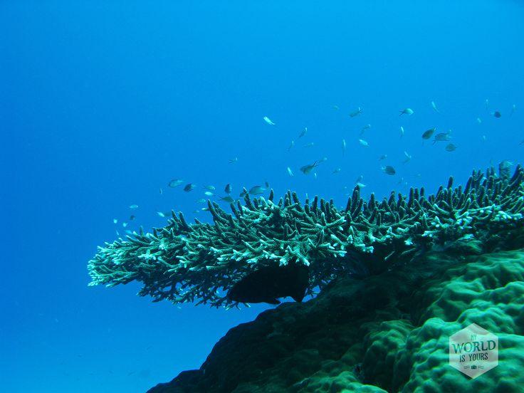 Black fish hiding under a piece of coral. PEEKABOO!!! Photo: Great Barrier Reef, Australia