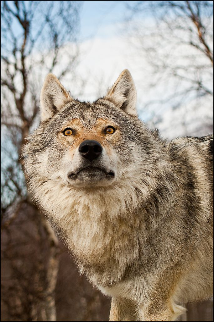 All sizes | Wolf | Flickr - Photo Sharing!