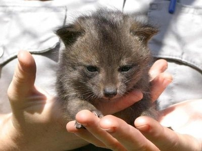 Dwarf foxes, saved from extinction, make an incredible recovery