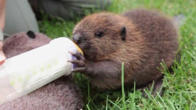 Bebek Kunduz besleniyor