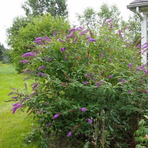 Arbusto de las mariposas nanho purple hoja caduca for Arbustos de hoja caduca