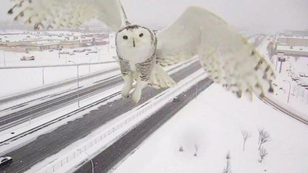 Schnee-Eule photobomt Verkehrskamera  Video zweimal klicken