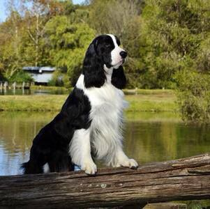 "Click visit site and Check out Best ""English Springer Spaniel"" T-shirts. This website is outstanding. Tip: You can search ""your name"" or ""your favorite shirts"" at search bar on the top."