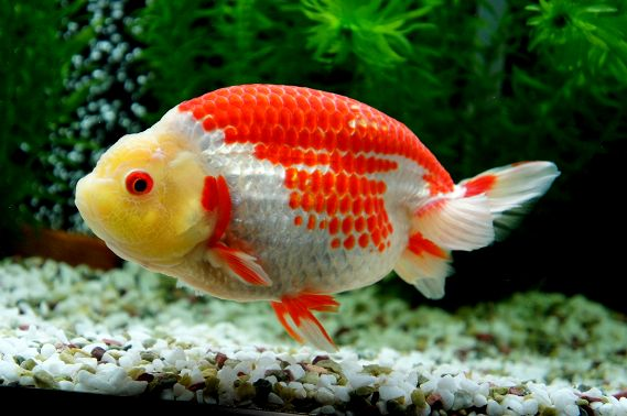 149 best images about ranchu goldfish on pinterest for What fish can live with goldfish in a pond