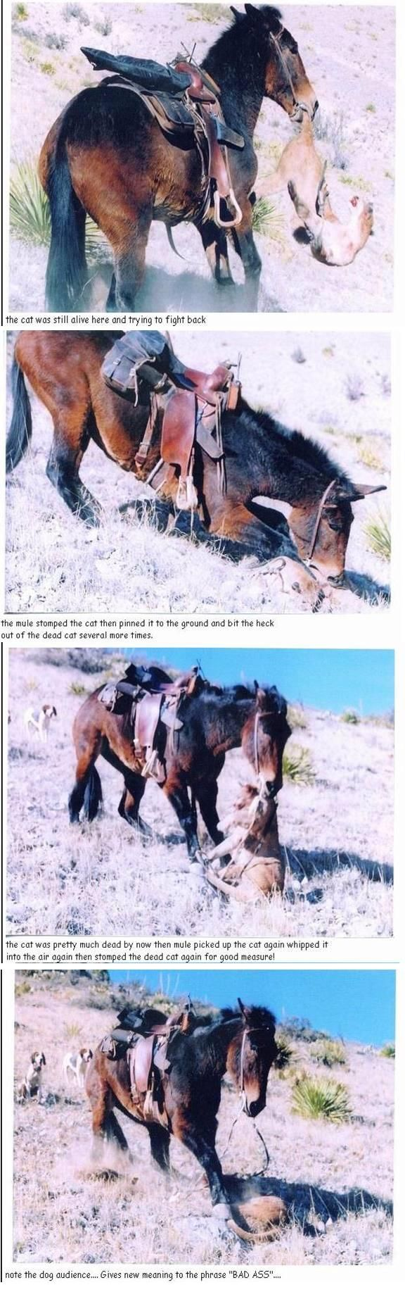 Mule kills mountain lion!! This is why you should own a mule...you won't see this from a horse!  Just sayin'