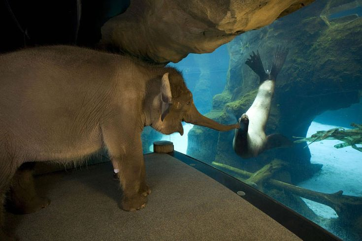 This is Chendra, an Asian elephent, meeting Gus, a sea lion at the Oregon Zoo. Chendra met Gus while she was on one of her morning walks around the zoo.