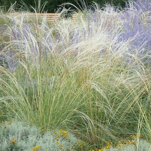 546 best images about sunset zone 3 garden on pinterest for 6 foot tall ornamental grass