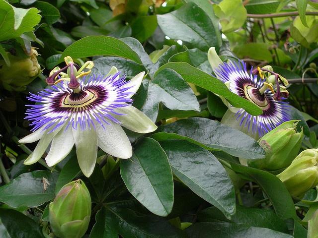 Wild Passionflowers (flor de maracujá) Passion flower