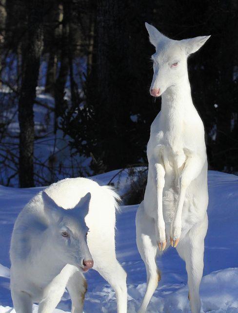 Albino Whitetail Deer
