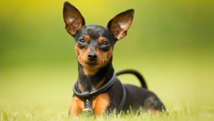pinscher miniatura razas de perros pequeños